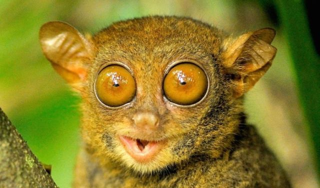 big eyes, tarsier