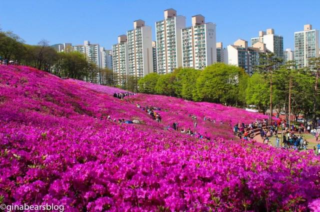 azaelas in Gunpo, Seoul
